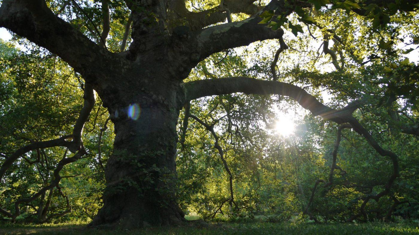 vieilles branches] À lamanon, 2000 habitants et un platane | marsactu